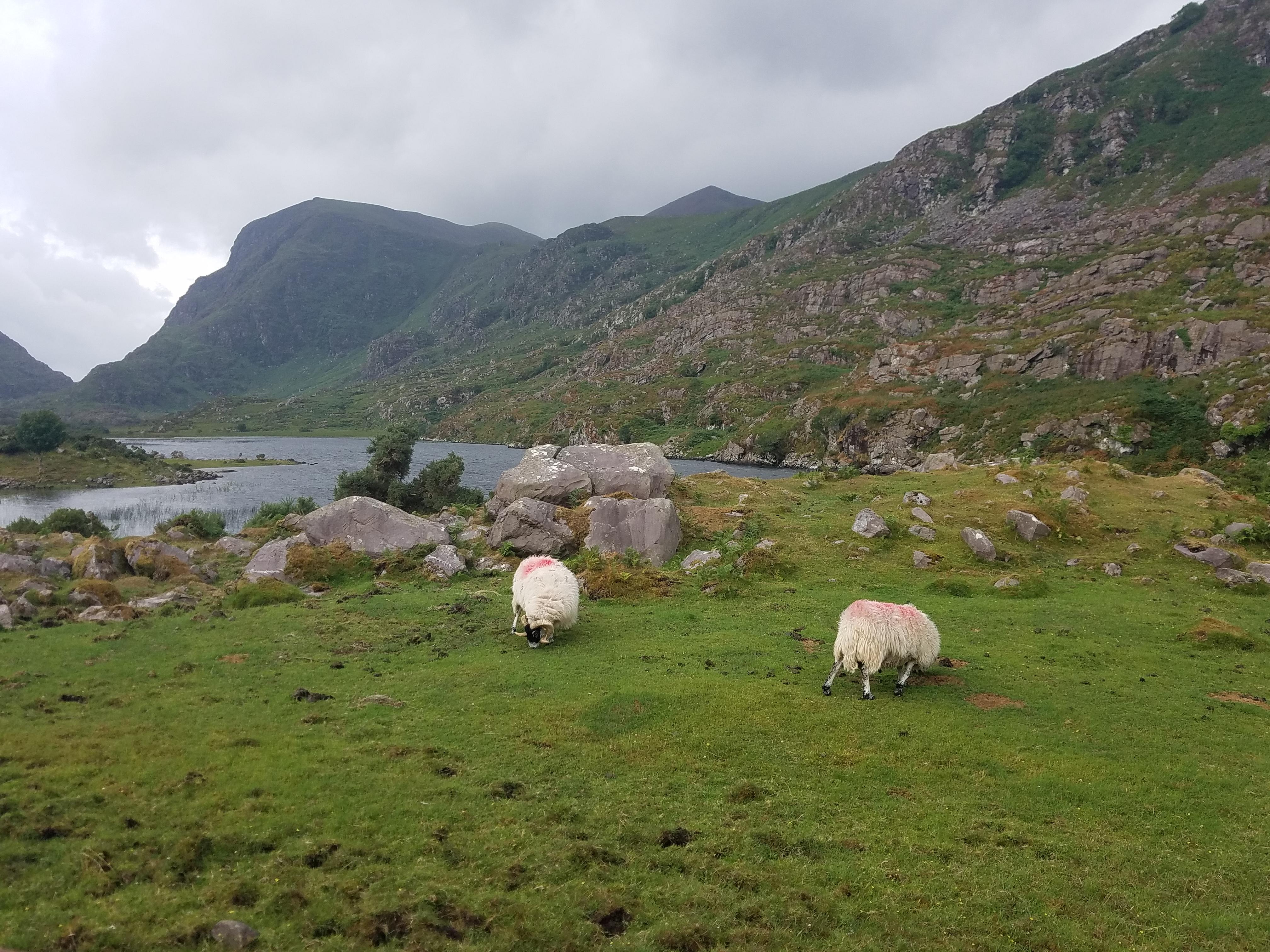 Gap of Dunloe Sheep